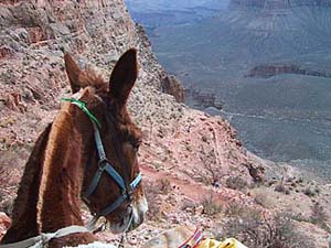 A mule with a view &#151 of the Grand Canyon. Image © Beverly A. Pettit.